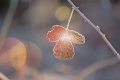 Frosty Moments... (KissThePixel) Tags: bokeh bokehlicious macro macromonday makro closeup light sunlight sunbokeh winter winterflora flora leaves tree garden 70200mm sigma sigma70200mm 28 f28 frost frosty frostymornings frozen nature nikon nikond750