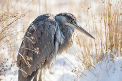 7K8A7972 (rpealit) Tags: scenery wildlife nature edwin b forsythe national refuge brigantine great blue heron bird