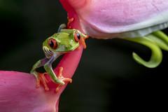 Red-eyed Tree Frog (Agalychnis callidryas) (Hamilton Images) Tags: redeyedtreefrog agalychniscallidryas frog amphibian bocatapada costarica canon 5dmarkiv 180mm macro january 2019 juancarlosvindasphototours neotropicphototours imgdl7a0650