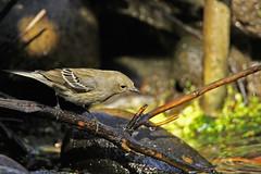 Yellow-rumped Warbler 30 (ahmed_eldaly) Tags: sandiego california usa nature birds birding wildlife photography egyptianphotographer