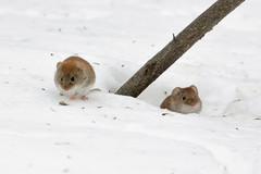 IMG_4370 (Dmitrij Andreev) Tags: mouse snow winter nature animal