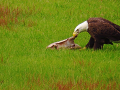 I hate take-out...views from the porch (al-ien) Tags: eagle baldeagle lunch wildlife floridabirds floridawildlife takeout viewsfromtheporch myplace birdofprey