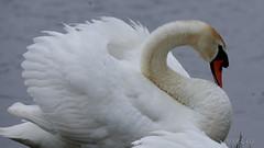 Cygne (cc-2412) Tags: cygne swan blanc white nature oiseau nikond600 france hautsdefrance baiedesomme marquenterre