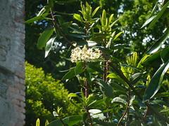 20130529_Bantry-IE_DrimysWinteri_Cutler_P1480055 (wlcutler) Tags: winteraceae drimys drimyswinteri