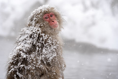 Snow Monkey (bamboo_sasa) Tags: 地獄谷野猿公苑 志賀高原 渋温泉 上林温泉 長野 信州 山ノ内町 猿 ニホンザル スノーモンキー jigokudani yaenkoen shigakogen nagano shinshu snowmonkey monkey winter japan