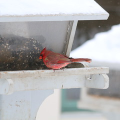 065. Cardinal (Misty Garrick) Tags: arboretum universityofminnesotalandscapearboretum landscapearboretum flowershow bird birds birding