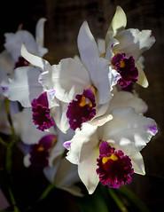 Cattleya (San Francisco Gal) Tags: orchid cattleya pacificorchidexposition flower fleur bloom blossom light shadow orchidee