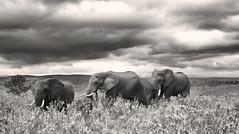 Gray giants (Zoom58.9) Tags: sky clouds grasses hills tree elephants animals gray bw monochrome landscape nature field africa gondwana np himmel wolken gräser hügel baum elefanten tiere grau sw landschaft natur outside draussen feld afrika canon eos 50d