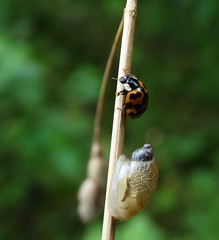 More than a snail's pace! (rockwolf) Tags: harlequinladybird harmoniaaxyridis coccinellidae coleoptera coccinelle coccinelleasiatique beetle ladybird snail mollusc insect wollertonwetlands shropshire rockwolf