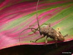 Longhorn Beetle, Jamesia globifera or pyropina or synonyms? (Ecuador Megadiverso) Tags: andreaskay beetle cerambycidae coleoptera ecuador longhornbeetle jamesiaglobifera jamesiapyropina