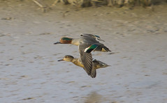 Teal (wayne.withers1970) Tags: small pretty bird wings fly flight flying color colorful nature natural colour colourful wild wildlife wales winter flickr dof naturephotography country countryside outside outdoors alive fauna canon sigma light blur black white brown orange green lake river sea coast feathers water wader waterfowl fine dark animal ripples kidwelly teal