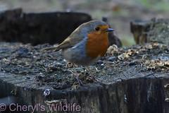 Robin (Cheryl's Wildlife) Tags: wildlife nature suffolk rspb birds 2019 birdwatching nikon sigma photography east eastanglia naturereserve wildlifetrust riverlark weststow