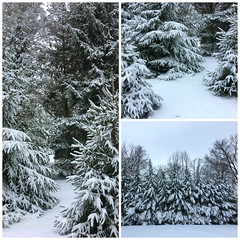 snowday triptych (karma (Karen)) Tags: baltimore maryland home backyard trees spruce snow branches triptych picmonkey