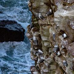 Cap Fréhel (Oric1) Tags: mouettes tridactyles fréhel water sea eau mer oric1 france bretagne brittany breizh eos capfrehel côtesdarmor plévenon jeanlucmolle 22 armorique canon ornithologie ornithology watching nest nid tamron sp a011 téléobjectif zoom 150 600 mm