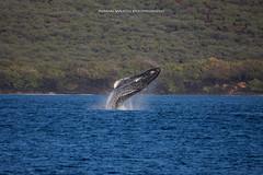 Sea Pickle!  (Explored!!! Thank you!!!) (ArmanWerthPhotography) Tags: armanwerthphotography humpback humpbackwhale breach maui lanai trilogy sailtrilogy hawaii wildlife