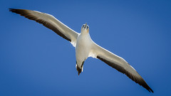 Incoming (Stefan Marks) Tags: animal australasiangannet bird flying gannet morusserrator nature outdoor sky aucklandwaitakere northisland newzealand