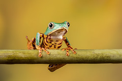 Super Tiger Legged Waxy Monkey Frog (Linda Martin Photography) Tags: phyllomedusatomopterna captivelight uk frogworkshop bournemouth supertigerleggedwaxymonkeyfrog coth ngc coth5 naturethroughthelens npc