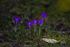 "emerging blue, yellow hearted, crocuses, a Potterton garden, Potterton, Aberdeenshire, Scotland (grumpybaldprof) Tags: canon 7d ""canon7d"" sigma 150600mm f563 ""dgoshsmsport"" ""sigma dgoshsmsport"" ""fineart"" ethereal striking artistic interpretation impressionist stylistic style contrast shadow bright dark black white illuminated mood calm peaceful tranquil restful colour colours colourful aberdeen aberdeenshire scotland uk ""siorrachdobardheathain"" ""apottertongarden"" potterton flower sun garden flowers promise bud stem green elegance beauty light texture plant petals petal floral sheen veins intensity vibrancy shape leaf flora brilliance hairs crocus ""irisfamily"" perennial ""goldenorange"" gold orange purple stamens foreshortened"