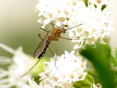 Hungry Mosquito (treegrow) Tags: rockcreekpark washingtondc nature lifeonearth raynoxdcr250 arthropoda insect diptera fly culicidae