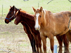 Horses at the fence. (~~Chuck's~~Photos~~) Tags: chucksphotos canonsx60 amish horses winter outdoors hff kentuckyphotos animals ourworldinphotosgroup earthwindandfiregroup photosthruyourlensgroup solidarityagainstcancergroup exploringkentucky