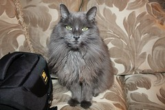 New Year's Day Colours - Bella (Pushapoze (NMP)) Tags: bella cat blue