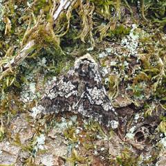 Oak Beauty Biston strataria (Clive E Jones) Tags: nature maeshafn moths moel findeg denbighshire north wales mothtrapping oak beauty biston strataria