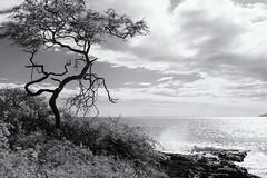 Tree in Foreground _5362 (hkoons) Tags: atlantic hawaiimaui beach current islands marine ocean outdoors saltwater sea seascape seashore shore spray surf waves