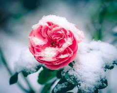 Icy Rose (Cyclase) Tags: red rot pink rose winter schnee snow macro closeup makro frozen flower gefroren blume frisch fresh white weiss beautiful schön natural natur cold kalt farbe color hope freshness frische pflanze plant