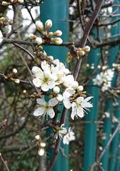 Blossom Railings (Snowbaby67) Tags: blossom truro cornwall