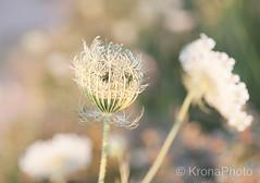 Looking forward to the best season, Denmark (KronaPhoto) Tags: sommer danmark macro dof flowers canon