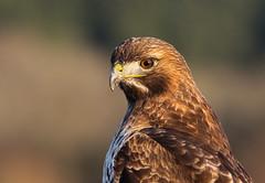 Shy??  NOT! (Team Hymas) Tags: ridgefieldnationalwildliferefuge redtailedhawk bird washington wildlife portrait