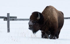 TATANKA (laura's POV) Tags: bison bull buffalo wildlife animal winter cold seasons fence wyoming moran jacksonhole grandtetonnationalpark gtnp unitedstate northamerica snow nationalpark lauraspov lauraspointofview west western beautiful strong amazinganimal