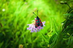 The black-red moth looks bright against the background of a gentle flower and light grass. Spring flowers blossom. Blurred background. (AlestrPhoto) Tags: fauna tree fresh up red grass park leaf bright wildlife purple flower bee nectar pink beautiful nature colorful summer butterflies closeup beauty green white spring plant floral garden blossom bloom butterfly natural macro background yellow flora close insect pollen honey honeybee color animal collecting free