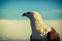 African Fish Eagle (pbmultimedia5) Tags: african fish eagle raptor animal bird wildlife portrait blue sky clouds england united kingdom feathers pbmultimedia natureinfocusgroup