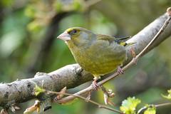 Greenfinch (sumowesley) Tags: bird fauna greenfinch nature oldmoor