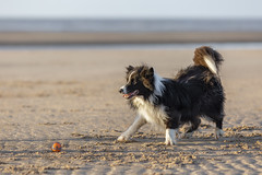 Gibson...Ball Dance! (redshift1960) Tags: gibson bordercollie dog ball beach chuckit