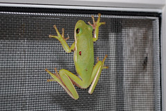 Frog On Our Window. (dccradio) Tags: lumberton nc northcarolina robesoncounty outdoor outdoors outside wildlife animal frog toad nature natural window april spring springtime wednesday wednesdaynight night evening treefrog nikon d40 dslr photo photooftheday photo365 project365 screen