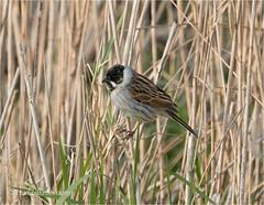 Reed Bunting (Huddsbirder) Tags: huddsbirder reedbunting lakenheath rspb sony a6500