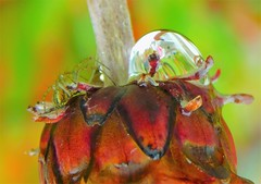 Flower bud with water drop and green spider (cami.carvalho) Tags: flower bud flor aranha spider waterdrop gotas ngc