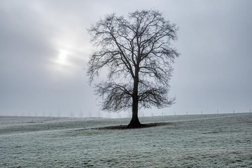 Tree in freezing fog