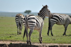 DSC_0664 (_Alem_) Tags: zebra animal africa masaimara safari animals sun nature
