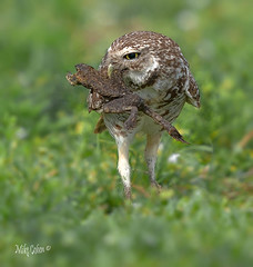 Burrowing Owl with Desiccated Frog (MyKeyC) Tags: mmykeyyahoocom instagramcommykeycohen flickrcomphotosmykeyc wwwfacebookcommikecohen182 mykey4photogmailcom michaeljcohen burrowing owl frog predation vistaview