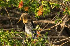Show off (ChicagoBob46) Tags: anhinga bird veniceareaaudubonrookery rookery florida nature wildlife coth5 naturethroughthelens ngc npc