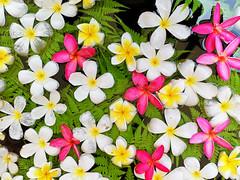 Floating leelawadee (SLpixeLS) Tags: thailand flower frangipani leelawadee white pink water floating