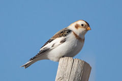 Snow Bunting (Gf220warbler) Tags: canon 5d mark iv 5dmk4 snow bunting 400mm f4 do is ii bird