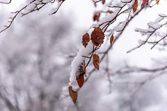 First Snow at Arboretum : November 13, 2018 (jpeltzer) Tags: ottawa winter snow rideaucanal arboretum