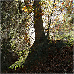 hoegne 54 (beauty of all things) Tags: belgien belgium hohesvenn sart hoëgne trees bäume herbst autumn quadratisch schatten shadows intothelight