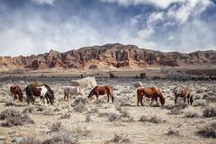 Sage & Horses - Dubois Wyoming '13 (Jonmikel & Kat-YSNP) Tags: wyoming wy horses sage badlands outdoors outside grazing