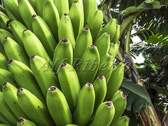 Alf 0003 - 1544 (Alf Ribeiro) Tags: agribusiness agriculture banana brazil brazilian close closeup rural agricultural background bananas beautiful branch bunch crop detail diet farm farming field food forest fresh fruit garden green group growing growth healthy isolated jungle leaf natural nature nobody nutrition object organic plant plantation production season sweet tasty tree tropical unripe up vegetable vegetarian