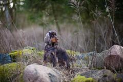 King of the hill (Rene_1985) Tags: leica sl 50mm 095 noctilux outdoor dog hund cocker spaniel bokeh dof schärfentiefe